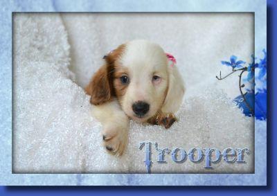 Trooper Male Dachshund