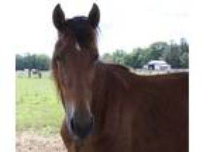 Adopt Bindi a Bay Tennessee Walking Horse horse in Hohenwald, TN (25231140)