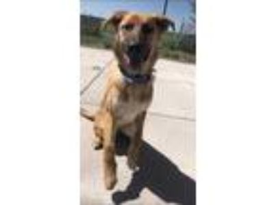 Adopt Bear a Red/Golden/Orange/Chestnut German Shepherd Dog / Mixed dog in