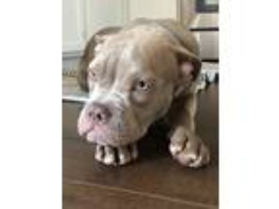 Adopt Letty a Tan/Yellow/Fawn - with White Mastiff / Poodle (Standard) dog in