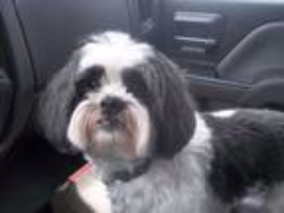Adopt Kirby - COMING SOON a Shih Tzu