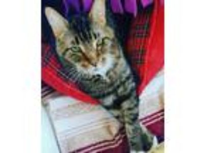 Adopt Buick a Brown Tabby Domestic Shorthair (short coat) cat in Chicago