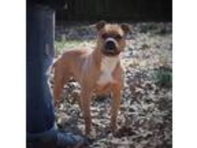 Adopt Sipsy a Pit Bull Terrier