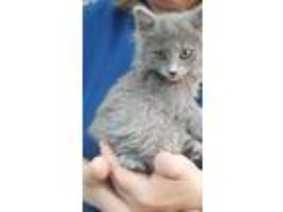 Adopt Demetri a Gray or Blue Russian Blue (long coat) cat in Thousand Oaks