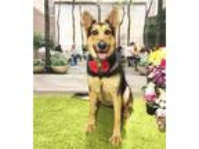 Adopt Nini a Black - with Tan, Yellow or Fawn German Shepherd Dog / Mixed dog in