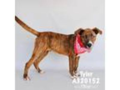 Adopt a Brindle American Pit Bull Terrier / Mixed dog in Conroe, TX (25555309)