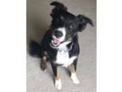 Adopt Dolly a Tricolor (Tan/Brown & Black & White) Australian Shepherd / Border