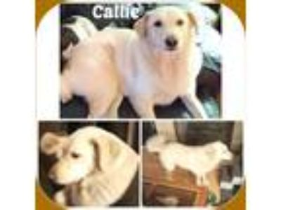 Adopt CALLIE a White Labrador Retriever / Mixed dog in Malvern, AR (25234045)
