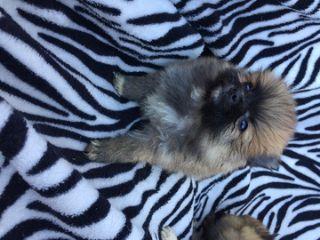Pomeranian PUPPY FOR SALE ADN-63731 - Pomeranians