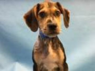 Adopt Tex a Black Catahoula Leopard Dog / Hound (Unknown Type) / Mixed dog in