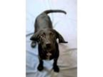 Adopt Clemens a Black Labrador Retriever / Hound (Unknown Type) / Mixed dog in