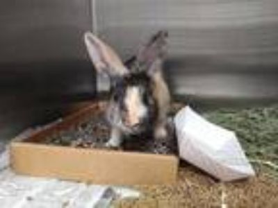 Adopt FLEECE a Fawn Other/Unknown / Mixed rabbit in St. Louis, MO (25592364)