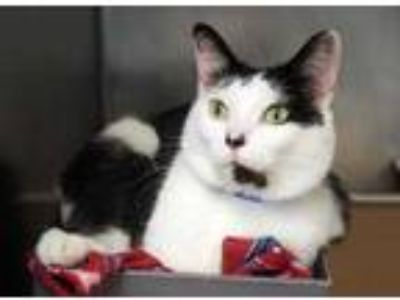 Adopt Panda a White Domestic Shorthair / Domestic Shorthair / Mixed cat in