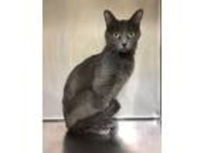 Adopt Veronica a Domestic Short Hair, Russian Blue