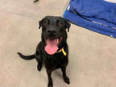 Adopt NALA a Black Labrador Retriever / Mixed dog in Brighton, CO (25330617)