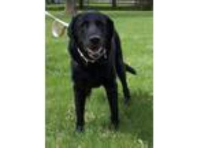 Adopt Laura a Black Labrador Retriever