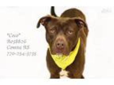 Adopt Coco a Brown/Chocolate American Pit Bull Terrier / Mixed dog in Newnan