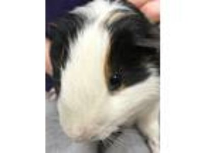Adopt Jimmy Choo a Brown or Chocolate Guinea Pig (short coat) small animal in