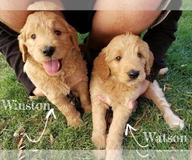 Goldendoodle PUPPY FOR SALE ADN-130999 - Goldendoodle Puppies  1 female available