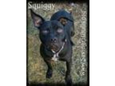 Adopt Squiggy a Pit Bull Terrier