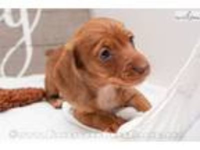 Colette - Red female WIREHAIR