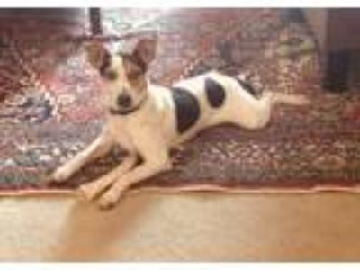 Adopt Ruby a White - with Black Jack Russell Terrier / Terrier (Unknown Type