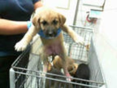 Adopt STRAY a Tan/Yellow/Fawn - with Black German Shepherd Dog / Mixed dog in