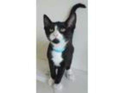 Adopt Theo a All Black Domestic Shorthair / Domestic Shorthair / Mixed (short