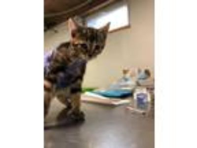 Adopt Honey BooBoo a Domestic Short Hair, Tiger