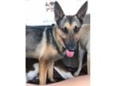 Adopt Rudy a German Shepherd Dog