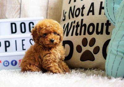 Lexi the Poodle