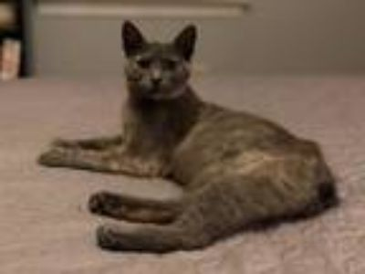 Adopt Viola19 a Manx / Mixed (short coat) cat in Youngsville, NC (25492465)