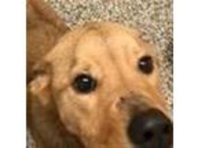 Adopt Honeycomb a Shepherd, Labrador Retriever
