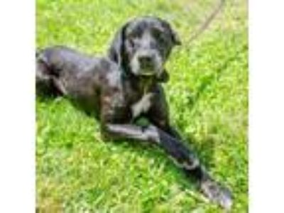 Adopt Mary a Black Labrador Retriever / Mixed dog in Salem, OR (25626198)