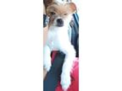 Adopt Emory a Yorkshire Terrier, Shih Tzu