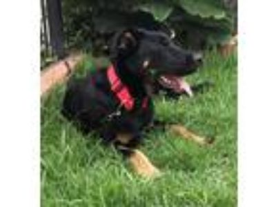 Adopt PRINCE a Black Shepherd (Unknown Type) / Labrador Retriever / Mixed dog in