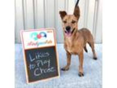 Adopt Scar a Brown/Chocolate Terrier (Unknown Type, Small) dog in Baytown