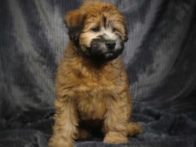 Soft Coated Wheaten Terrier PUPPY FOR SALE ADN-96673 - Most Adorable Loving Soft Coated Pup