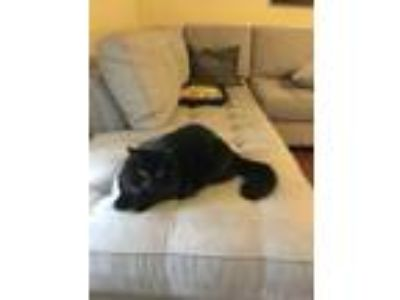 Adopt Belle a All Black Domestic Longhair / Domestic Shorthair / Mixed cat in