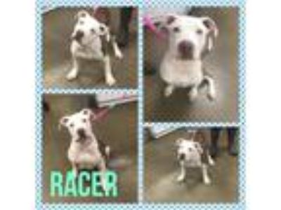 Adopt Racer a White - with Brown or Chocolate Pit Bull Terrier / Mixed dog in