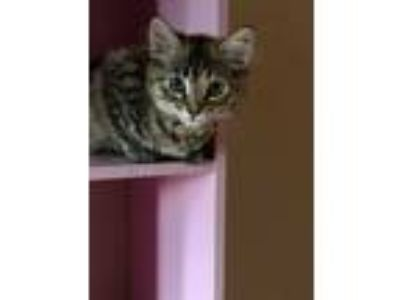 Adopt Holly Noelle a Brown Tabby Maine Coon (long coat) cat in Sacramento
