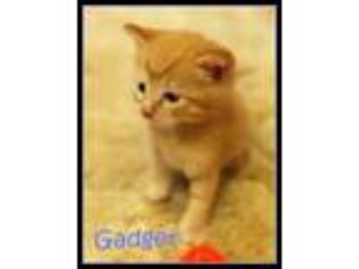 Adopt Gadget *kitten* a Domestic Short Hair