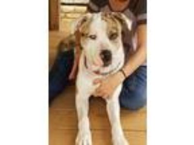 Adopt Guido a White - with Tan, Yellow or Fawn Catahoula Leopard Dog / Mixed dog