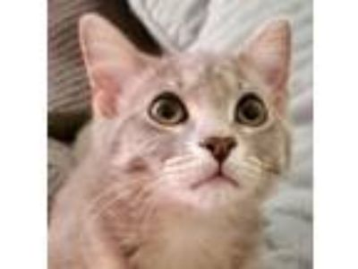 Adopt Pebble a Gray or Blue Domestic Shorthair / Mixed cat in Palatine