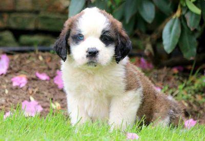 Saint Bernard PUPPY FOR SALE ADN-79261 - Saint Bernard Puppy for Sale