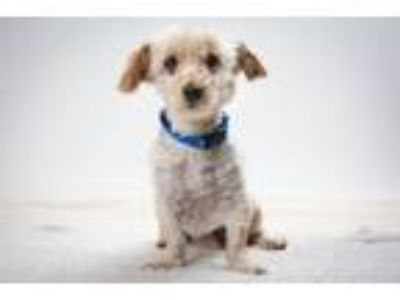 Adopt TROUT* a Bichon Frise, Mixed Breed