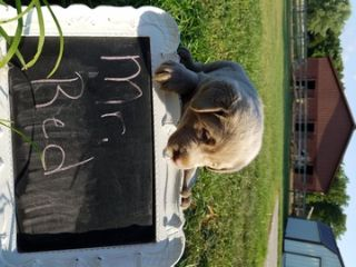 Labrador Retriever PUPPY FOR SALE ADN-88260 - AKC Silver Labs