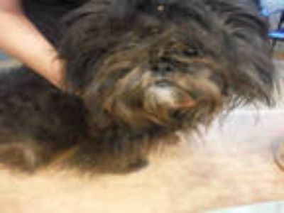 Adopt a Black - with Gray or Silver Shih Tzu / Mixed dog in San Jose