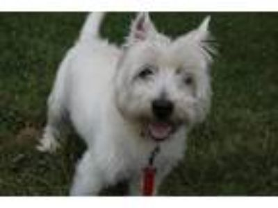 Adopt ACHILLES a West Highland White Terrier / Westie
