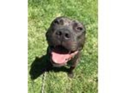 Adopt Jack Daniels a American Staffordshire Terrier / Mixed dog in Richmond